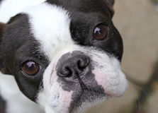 Boston Terrier Zdjęcia Royalty Free