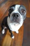 Boston Terrier Lizenzfreie Stockbilder
