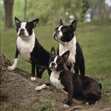 3 Boston Terrier Lizenzfreie Stockfotos