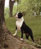 Boston-Terrier Stockbilder