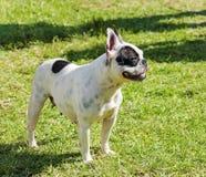 Boston-Terrier Stockfoto