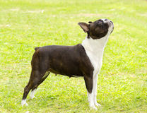 Boston-Terrier Lizenzfreie Stockfotografie