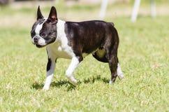 Boston-Terrier Lizenzfreie Stockfotos