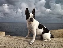 Boston Terrier immagine stock