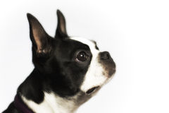 Boston Terrier Royalty-vrije Stock Fotografie