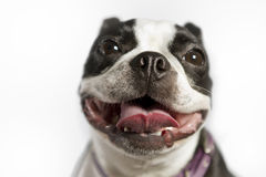 Boston Terrier Imagem de Stock Royalty Free