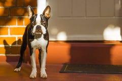 Boston Terrier fotografía de archivo libre de regalías