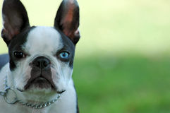 Boston Terrier. A very serious brown and blue eyed Boston Terrier stares into the camera Royalty Free Stock Images