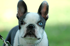 Boston Terrier. A very serious brown and blue eyed Boston Terrier stares into the camera Stock Photo