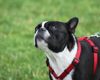 Boston Terrier. Black and white Boston Terrier wearing a red harness Royalty Free Stock Images