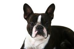 boston terrier Arkivfoton