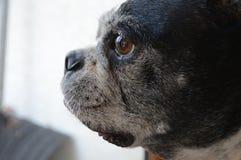 Boston Terrier Zdjęcie Stock