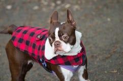 Boston Terrier Royaltyfria Bilder