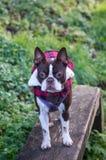Boston Terrier Royaltyfri Fotografi