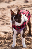 Boston Terrier Immagini Stock