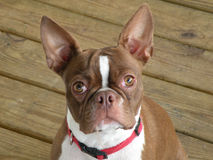 Boston Terrier. Dog with bridle colored coat royalty free stock photography