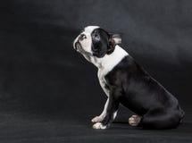 Boston Terrier foto de archivo