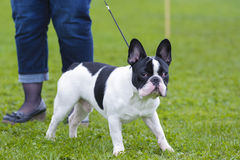 Boston Terrier Obraz Stock