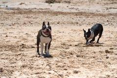 Boston Terrier Foto de archivo libre de regalías