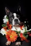 Boston Terrier Imagens de Stock