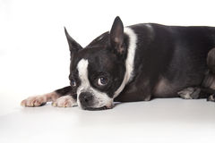 Boston Terrier fotografia de stock royalty free