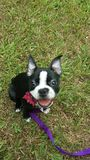 Boston Terrier Photographie stock libre de droits
