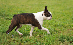 Boston terrier stock photo