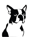 Boston Terrier Royalty Free Stock Photography