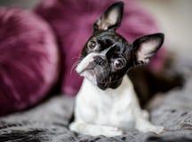 Boston Terrier auf dem Bett Stockbilder