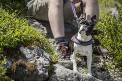 Boston Terrier in the Austrian Alps Stock Photo