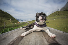Boston Terrier in the Austrian Alps Royalty Free Stock Photos