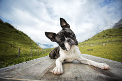 Boston Terrier in the Austrian Alps Stock Images