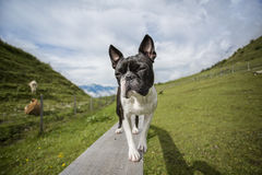 Boston Terrier in the Austrian Alps Stock Photography
