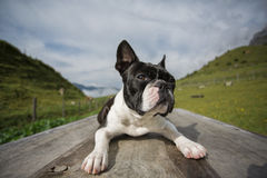 Boston Terrier in the Austrian Alps Stock Photos