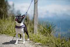 Boston Terrier in the Austrian Alps Royalty Free Stock Image