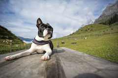 Boston Terrier in the Austrian Alps Stock Image