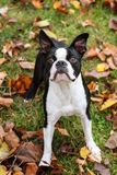 Boston Terrier in Autumn. A Boston Terrier looking upwards outside in Autumn Royalty Free Stock Images