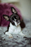 Boston Terrier on the Bed Royalty Free Stock Photos