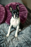 Boston Terrier on the Bed Stock Image