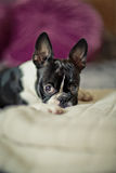 Boston Terrier on the Bed Stock Photos