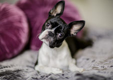 Boston Terrier on the Bed Royalty Free Stock Photo