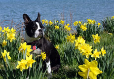 Boston Terrier bland påskliljarna royaltyfria bilder