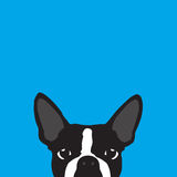Boston Terrier with blue background Stock Images