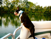 Boston terrier on boat Royalty Free Stock Photo
