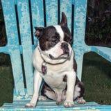 Boston Terrier che si siede sulla sedia immagine stock