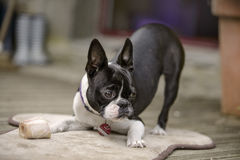 Boston Terrier chewing her marrowbone on her blanket on the terr Stock Photography
