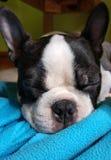 Boston Terrier ciucia obrazy stock