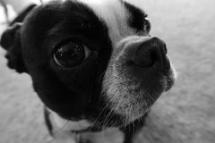 Boston Terrier close up of face in black and white. Close up of the face of a Boston Terrier in black and white Royalty Free Stock Images