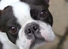 Boston Terrier Royalty Free Stock Photos