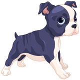 Boston Terrier Cub. Illustration of cute Boston Terrier cub Stock Images